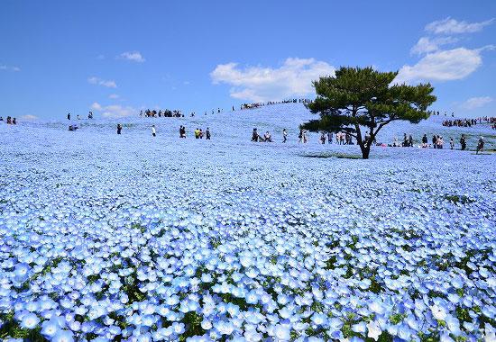 Nemophila Harmony Tourism Of All Japan X Tokyo